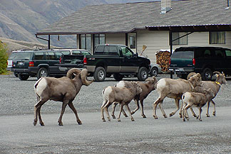Bighorn sheep wandering past field station in Susanville, CA