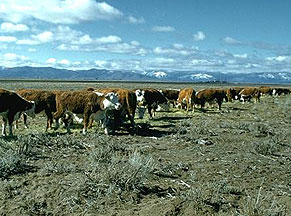 Herd of angus/herfords on the Gund Ranch, Nevada
