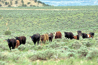 Rangeland herd susceptible to tick bites