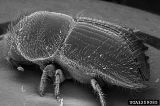 Spruce bark beetle taken by a scanning electron microscope.