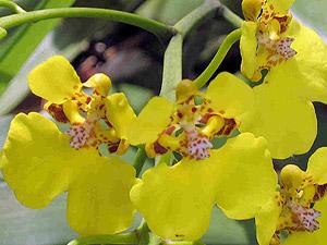 Orchid - Oncidium ampliatum