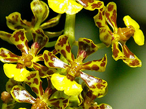 Orchid - Oncidium nanum