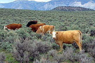 Cattle feeding on Nevada's open range
