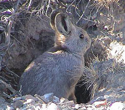 Pygmy Rabbit (Brachylagus Idahoensis) In Nevada