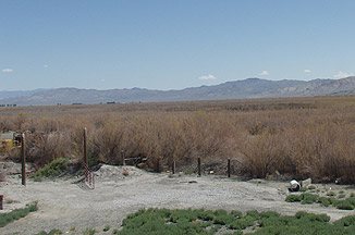 A field overtaken by saltcedar in Lovelock, Nevada.
