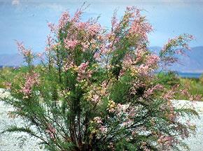Invasive saltcedar (Tamarix ramosissima)