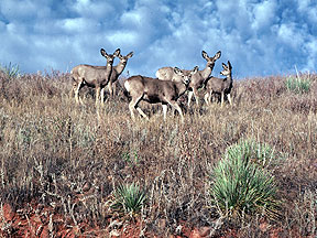 Herd of mule deer