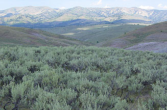 Mountain Big Sagebrush