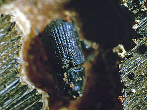 Moutain Pine Beetle