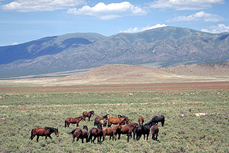 Wild Horses in Eastern Nevada