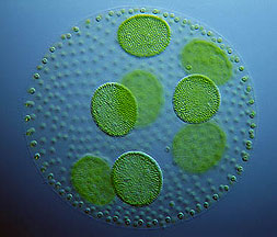 Algae image
