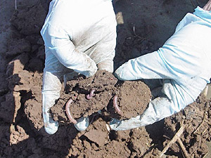 Soil augmented with biosolid fertilizer.