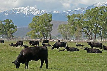 Calving season at Main Station Field Lab, Reno, Nevada