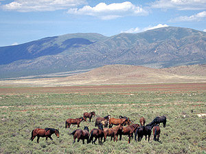Herd of wild horses East of Reno, Nevada.