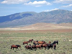 Herd of wild horses East of Reno, Nevada.