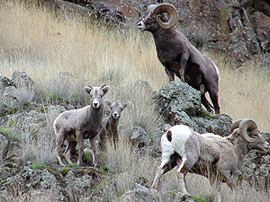 Herd of Big Horn Sheep just north of Elko, Nevada
