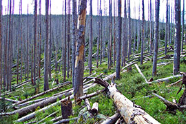 Forest damaged by bark beetles