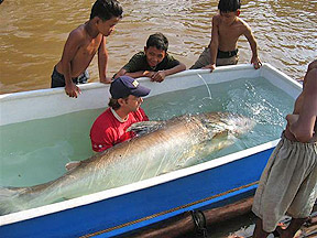 Zeb Hogan cradles a 250-pound Mekong giant catfish being treated with medication in a plastic tank. The fish was later released back into the Tonle Sap River.