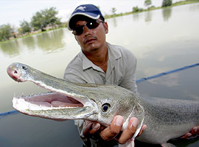 The Megafishes Project (led by Zeb Hogan) represents the first worldwide attempt to document and protect the planet's largest freshwater fish, like this alligator gar held by one of Dr. Hogan's assistants.