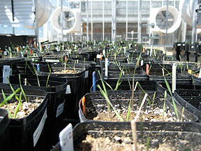 UNR's greenhouses serve as test grounds for native plant experiments.