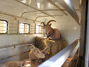 Relocation of Nevada Big Horn Sheep