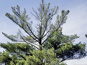 White pine tree with crown damage
