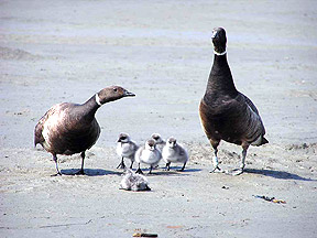 Family of Black Brant Geese