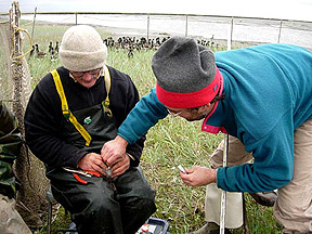 Jonathan Runstadler, right, and Jim Sedinger take a swab from a Black Brant goose in Chevak, Alaska.