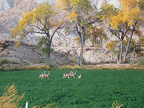 A herd of mule deer in farmer's alfalfa field