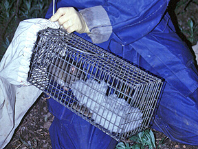 Dr. Matoqc working with captured wood rat in the field.