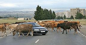 Cattle farming in Sakartvelo, Georgia