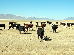 Cattle on Gund Ranch, Nevda