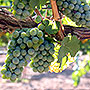 Wine grapes grown in Nevada