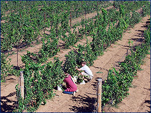 Harvesting wine grapes on UNR's campus vineyard