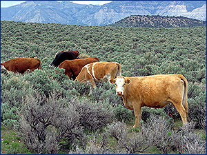 Range Cattle