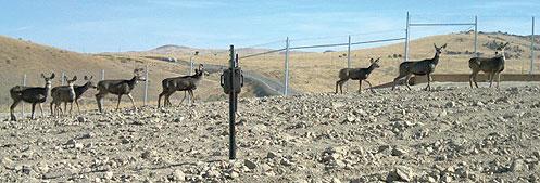 Deer using overpass on US 93 outside of Elko, Nevada
