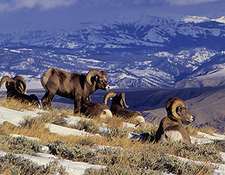 Herd of Nevada's Bighorn Sheep