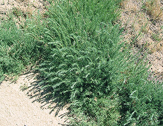 Forage kochia plant