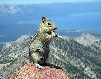 Chipmunk found at Lake Tahoe, thought to host the bacteria responsible for relapsing fever.