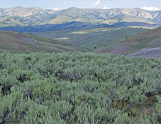 Field of sage brush