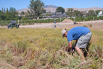 Harvesting gumweed for biofuel extraction