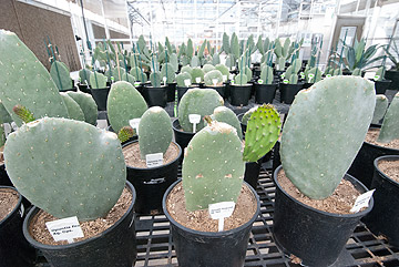 prickly pear cactus inside of UNR greenhouses