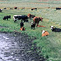Cattle in a riparian