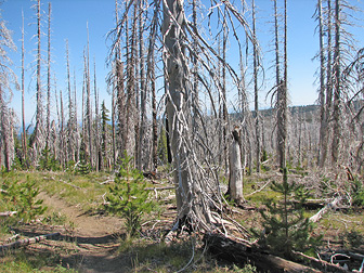 Bark Beetle infestation.