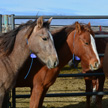 Yearlings from the Water Canyon area of the Antelope Herd Management Area await an adoption event at the White Pine County Fairgrounds in Ely, Nevada