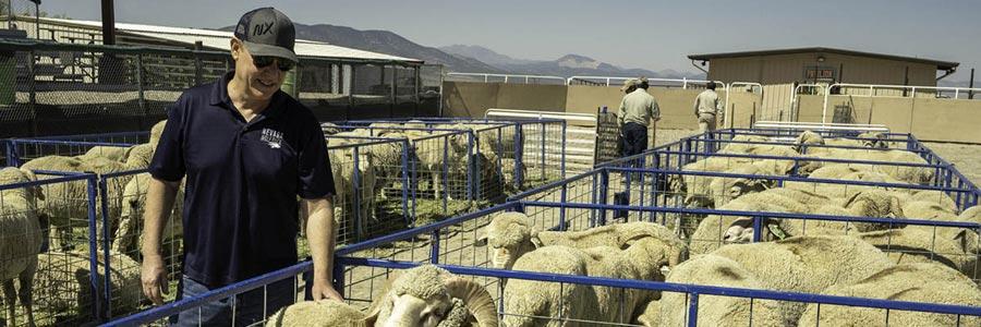 bill payne with sheep