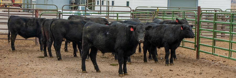 feed lot with cattle