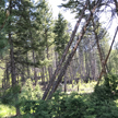 Dry trees in the Rocky Mountain forest