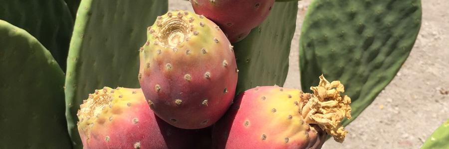 Cactus pear Opuntia ficus-indica fruit.