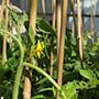 Tomato bloom